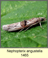 Nephopterix angustella