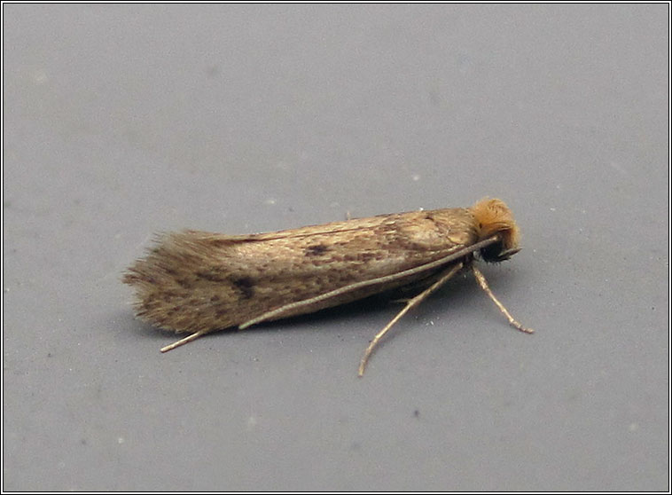 Niditinea fuscella, Brown-dotted Clothes Moth