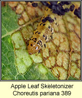 Apple Leaf Skeletonizer, Choreutis pariana