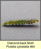 Diamond-back Moth, Plutella xylostella