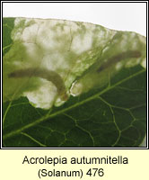 Acrolepia autumnitella