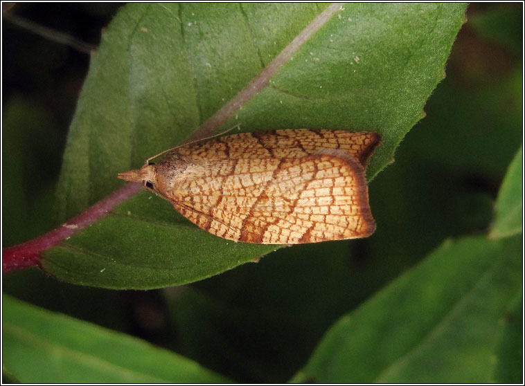 Chequered Fruit-tree Tortrix, Pandemis corylana