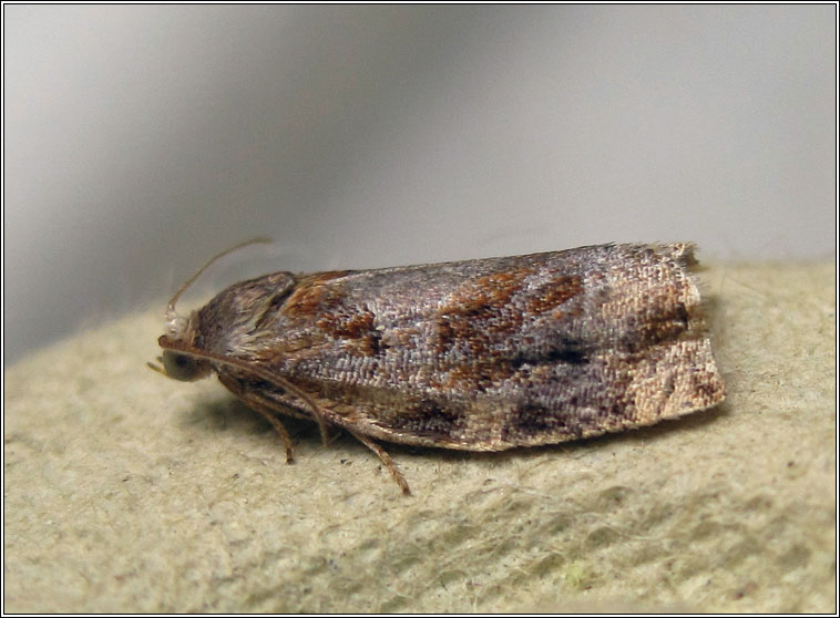 Variegated Golden Tortrix, Archips xylosteana