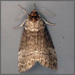 Common Lutestring, Ochropacha duplaris