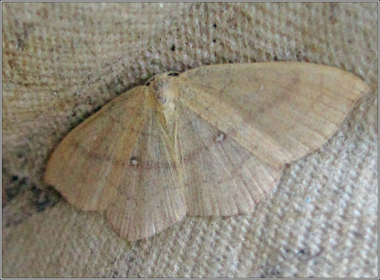 Clay Triple-lines, Cyclophora linearia