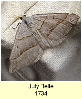 July Belle, Scotopteryx luridata