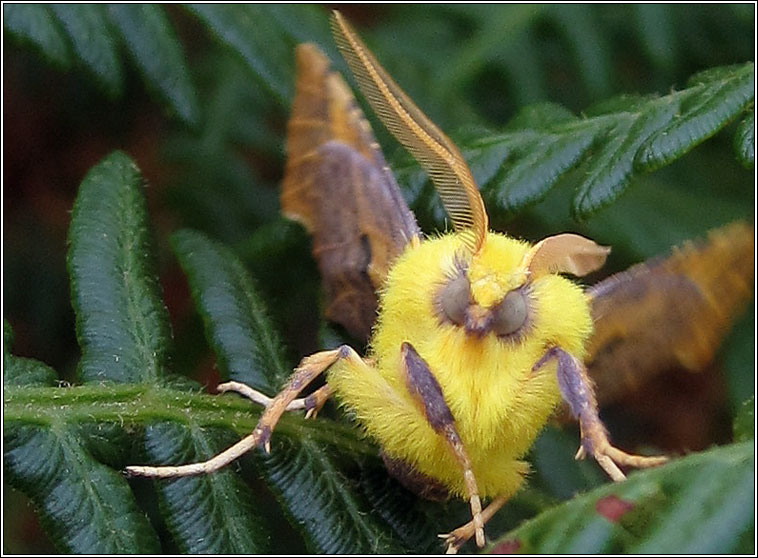 Canary-shouldered Thorn, Ennomos alniaria