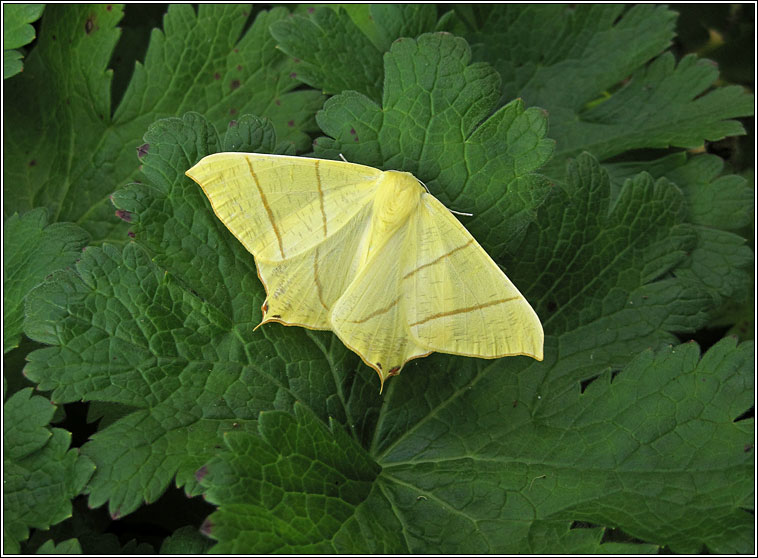 Swallow-tailed Moth, Ourapteryx sambucaria