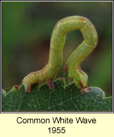 Common White Wave, Cabera pusaria