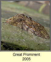 Great Prominent, Peridea anceps