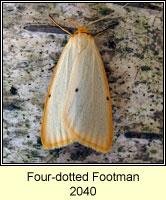 Four-dotted Footman, Cybosia mesomella