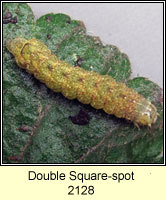 Double Square-spot, Xestia triangulum