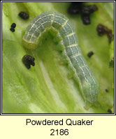 Powdered Quaker, Orthosia gracilis