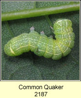 Common Quaker, Orthosia cerasi