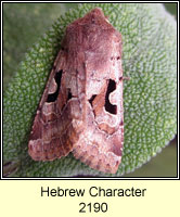 Hebrew Character, Orthosia gothica