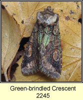 Green-brindled Crescent, Allophyes oxyacanthae