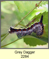Grey Dagger, Acronicta psi