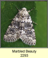 Marbled Beauty, Cryphia domestica