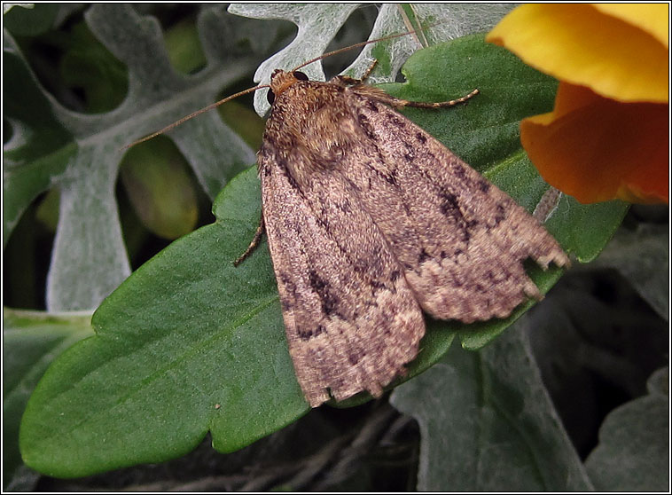 Copper Underwing agg, Amphipyra