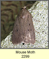 Mouse Moth, Amphipyra tragopoginis