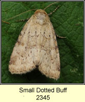 Small Dotted Buff, Photedes minima