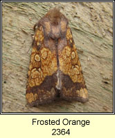 Frosted Orange, Gortyna flavago