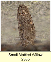 Small Mottled Willow, Spodoptera exigua
