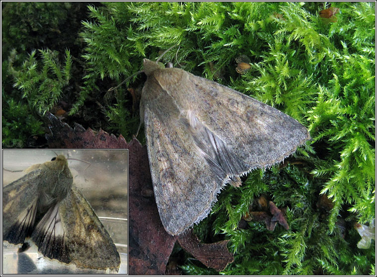 Scarce Bordered Straw, Helicoverpa armigera