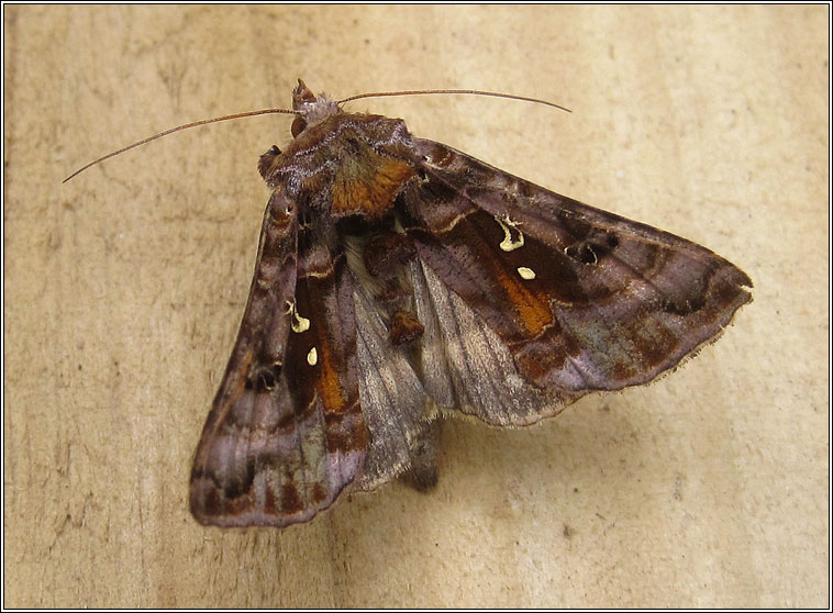 Beautiful Golden Y, Autographa pulchrina