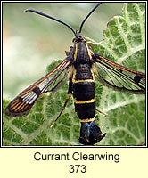 Currant Clearwing, Synanthedon tipuliformis