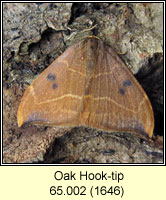 Oak Hook-tip, Watsonalla binaria
