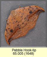 Pebble Hook-tip, Drepana falcataria