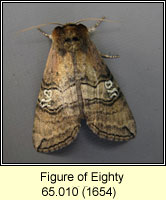 Figure of Eighty, Tethea ocularis