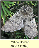Yellow Horned, Achlya flavicornis