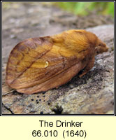 Drinker, Euthrix potatoria