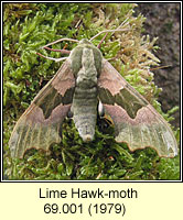 Lime Hawk-moth, Mimas tiliae