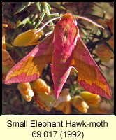 Small Elephant Hawk-moth, Deilephila porcellus