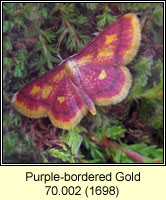 Purple-bordered Gold, Idaea muricata