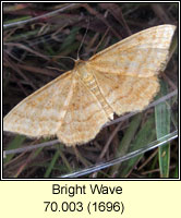 Bright Wave, Idaea ochrata