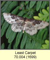 Least Carpet, Idaea rusticata