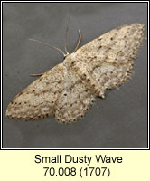 Small Dusty Wave, Idaea seriata
