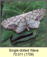 Single-dotted Wave, Idaea dimidiata