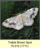 Treble Brown Spot, Idaea trigeminata