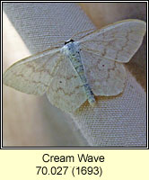 Cream Wave, Scopula floslactata