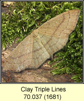 Clay Triple Lines, Cyclophora linearia