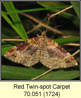Red Twin-spot Carpet, Xanthorhoe spadicearia