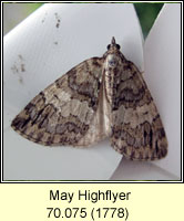 May Highflyer, Hydriomena impluviata