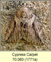 Cypress Carpet, Thera cupressata