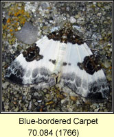 Blue-bordered Carpet, Plemyria rubiginata