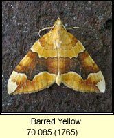 Barred Yellow, Cidaria fulvata